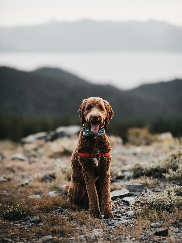Lake Tahoe Elopement - couple's dog ready for wedding ceremony