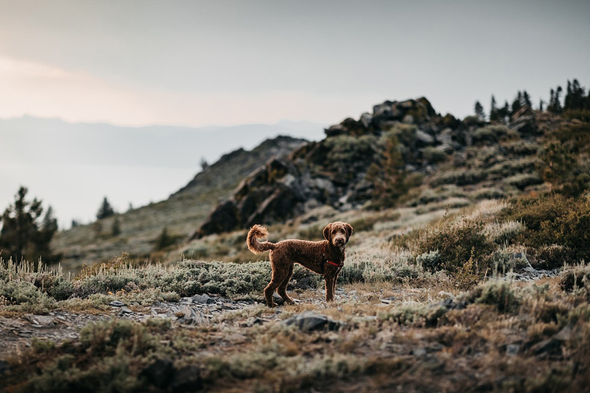 Lake Tahoe Elopement - couple's dog on trail after ceremony